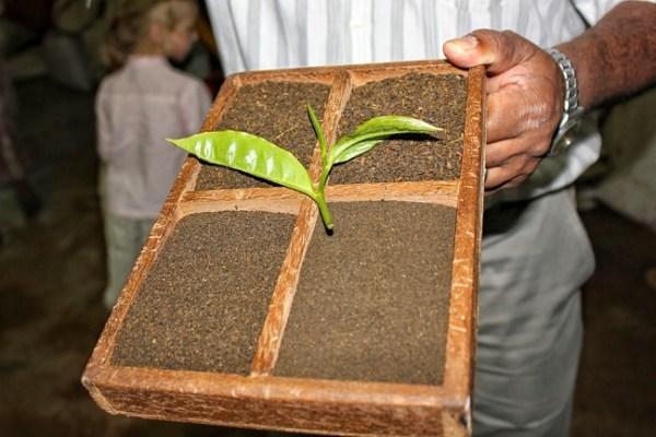 Bois Cheri - Usine de Thé