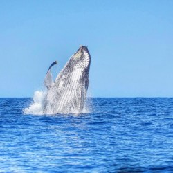 Ile Maurice - Baleine Majestueuse