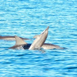 Mauritius - Dolphins Playing