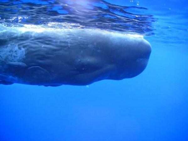 Mauritius - Whale Underwater