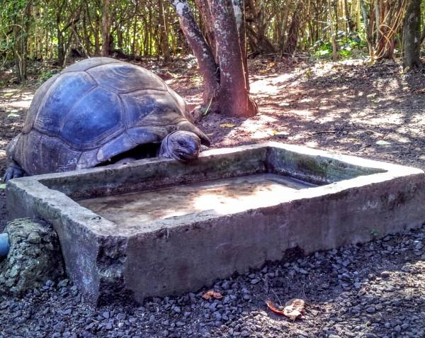 Giant Aldabra Tortoise on Ile aux Aigrettes, Mauritius / Tortues Géantes sur l'Ile aux Aigrettes, Ile Maurice