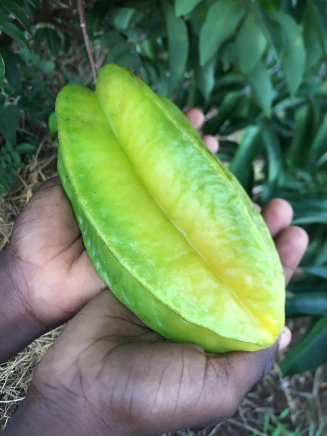 A Fruta Carambola Serve Para Que what we grow – bonne terre haiti