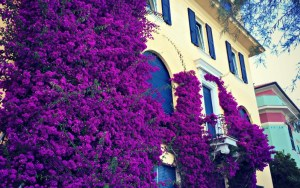 Bright fuchsia bougainvillea on a yellow villa
