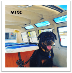 Meso the rottweiller in van