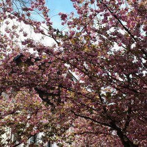 Japanische Kirschblüte in Bonner Altstadt