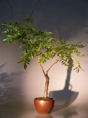 Flowering Japanese Wisteria Bonsai Tree Wisteria Floribunda