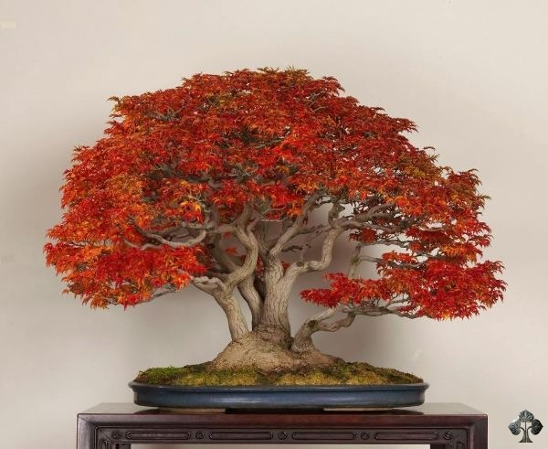 Deshojo bonsai by Michael