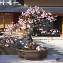 Cherry bonsai in blossom (sakura)