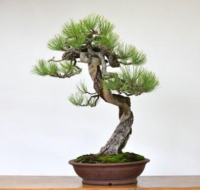 Resultado de imagen de Pinus Mugo bonsai