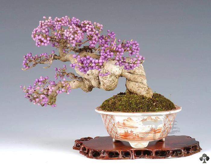 Japanese Bonsai Tree