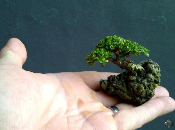 Mini bonsai on rock