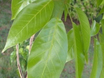 Guayacan Bonsai