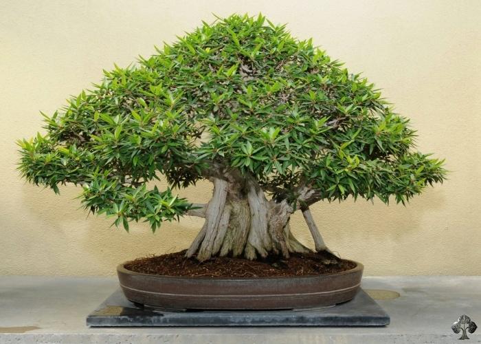 Resultado de imagen de bonsai ficus