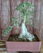 Olea europea, styling inspired by Giacomo Pappalardo - sold 8/3/15