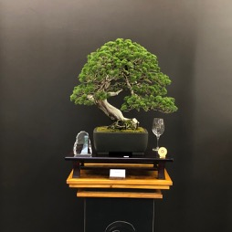 Juniper Bonsai 2