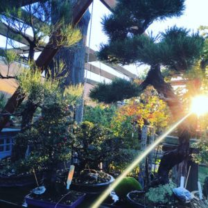 Intermediate Bonsai Training Spring