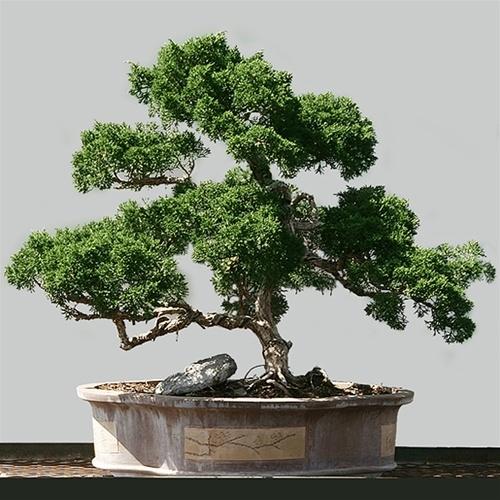 Can Any Type Of Tree Be A Bonsai Bonsai Sanctum