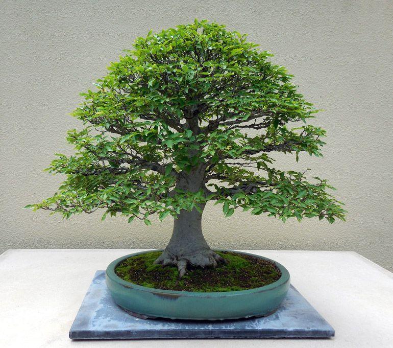 Beech Bonsai Tree Bonsai Sanctum