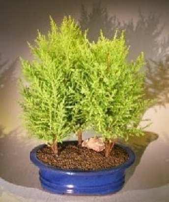 Resultado de imagen de Bonsai Cupressus Macrocarpa