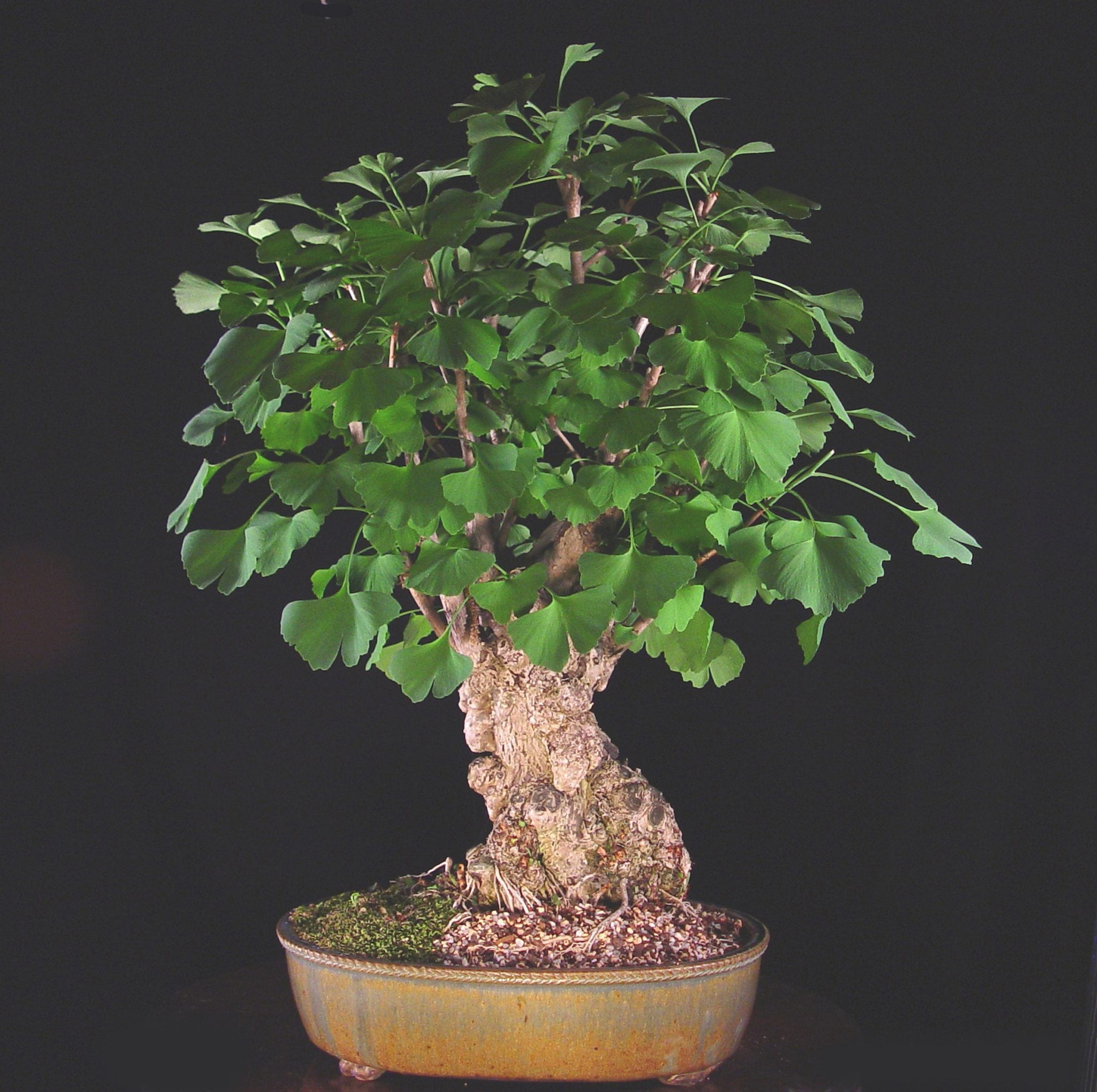 Ginkgo Bonsai Trees Bonsai Tree Gardener