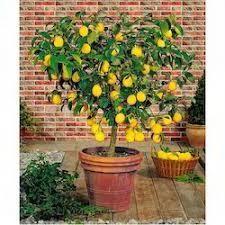 How to Bonsai a Lemon Tree