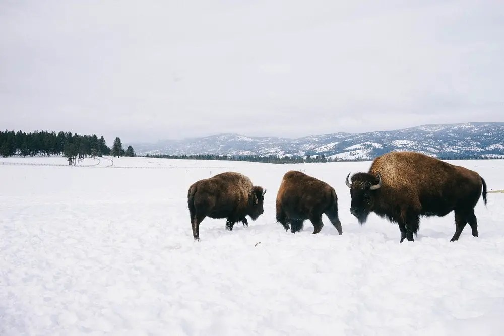 The resident bison at the ranch.