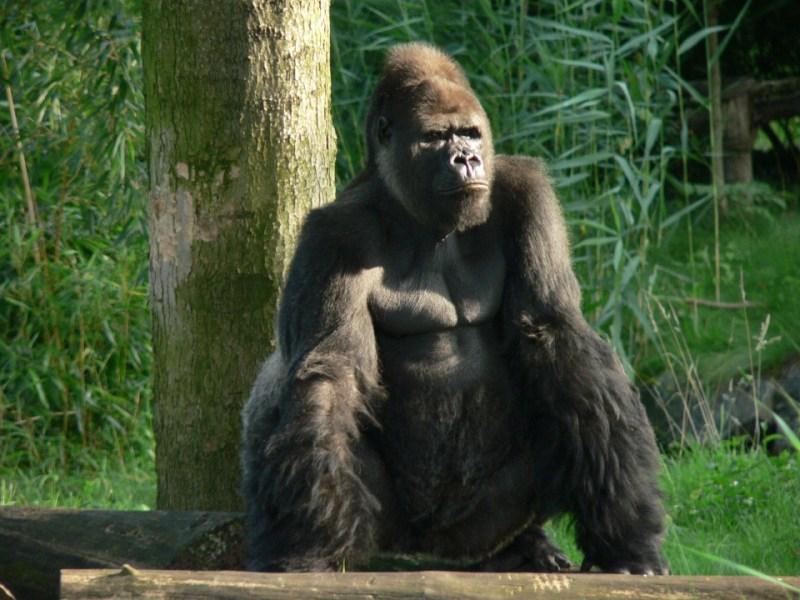 Gabon : 125,000 gorillas, 65,000 chimpanzees!