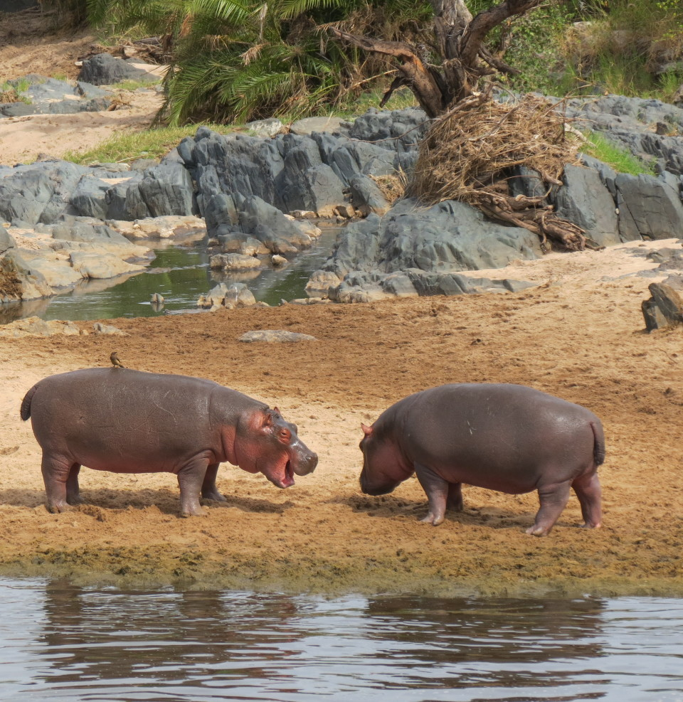 Young hippos playing at the Hippo Pool in the Serengeti
