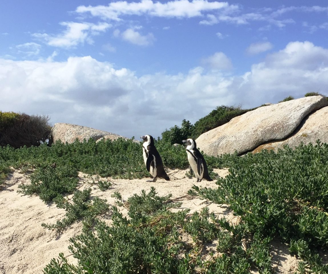 A couple of penguins at Boulders Beach, Cape Peninsula