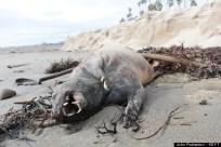 Strange Creature On Santa Barbara Beach