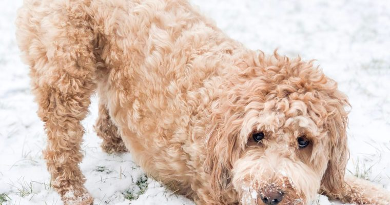 How to wash a goldendoodle (named bloo)