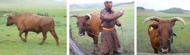 bookblast mongolia herder ox