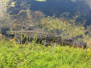 Alligator Everglades | Book FHR Travel Blog