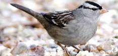 Sparrow385_264446a