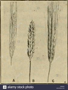 Types of barley Two-row barley; B, Hull-less barley C, Six-row barley