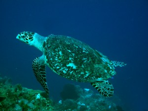 Sea turtle on a reef on Grand Cayman