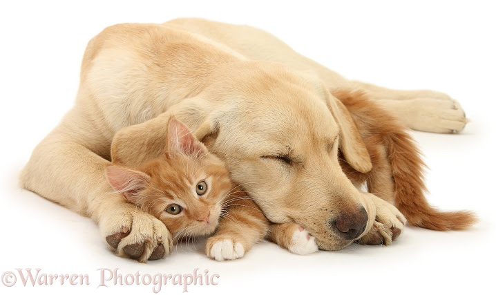 Labrador and cat
