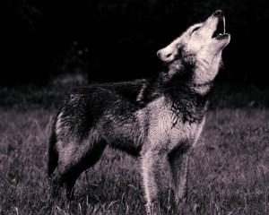 Wolf Howling Bookworm Beat
