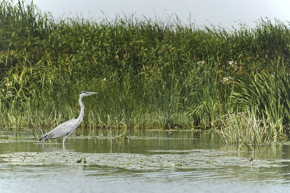 Grey heron Kayaking Delta Safari Danube River