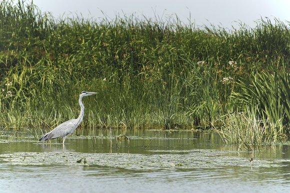 Grey heron Kayaking Delta Safari Danube River