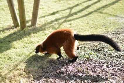 Banham Zoo - Red Ruffed Lemur