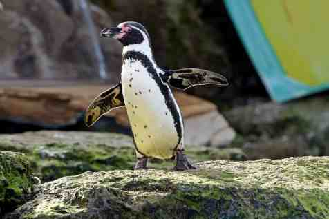 Penguin spreads his flippers in Penguin Bay