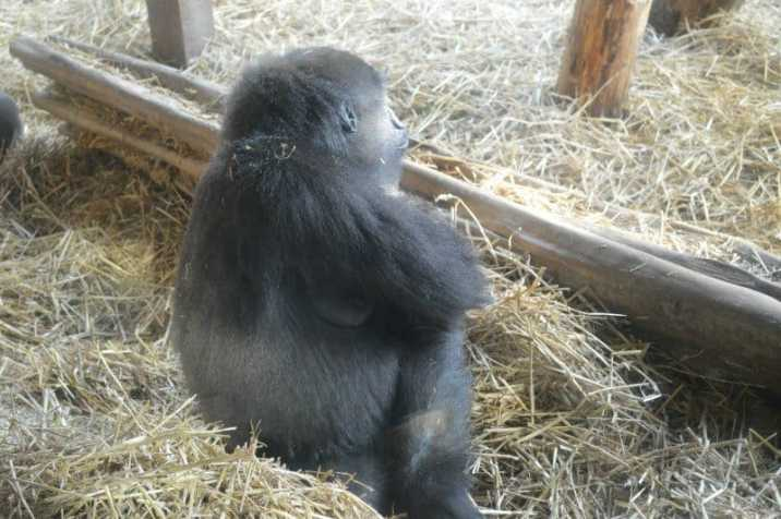 chessington-winters-tail-gorilla