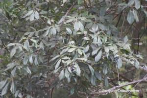 Leaves of the Water Vine - Cissus hypoglauca