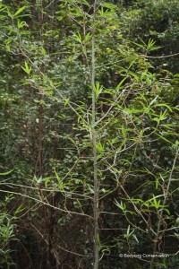 Native Hibiscus (2)