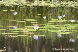 cape-water-lily