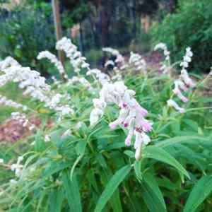 Salvia - Pink Velvet