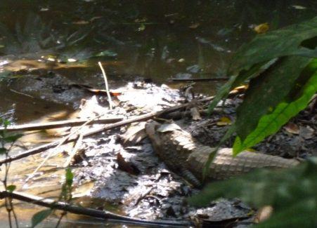 caiman alligator panama