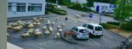 Cose che vedi al CERN: pecore all'ingresso B
