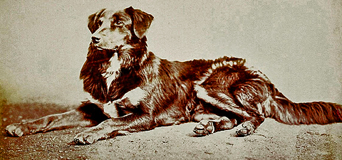 Queen Victoria's Border Collies